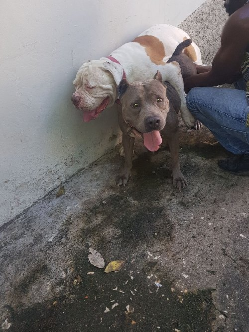 Dogs Pets Amp Animals Jamaica Classified Online Dogs