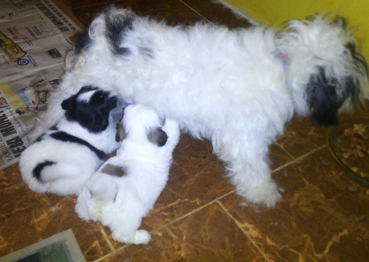 5 Weeks Old Purebred Shihtzu Puppies For Sale In Christiana