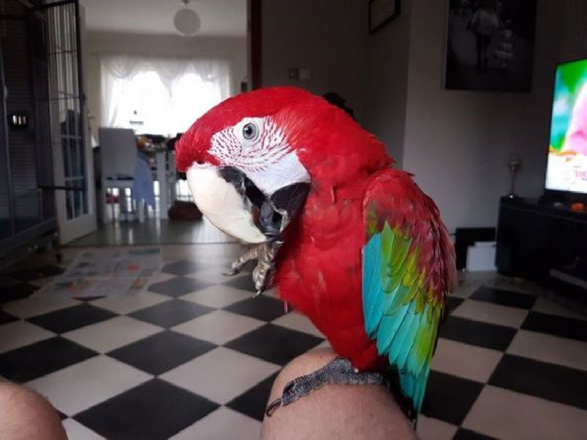 GREEN AND RED WINGED MACAWS FOR SALE in St  Catherine St
