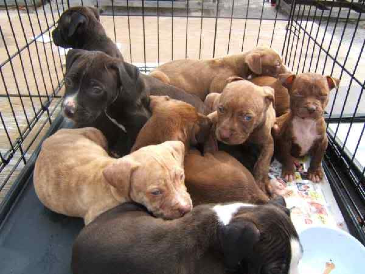 Beautiful Pitbull Puppies For Sale in Kingston Kingston St