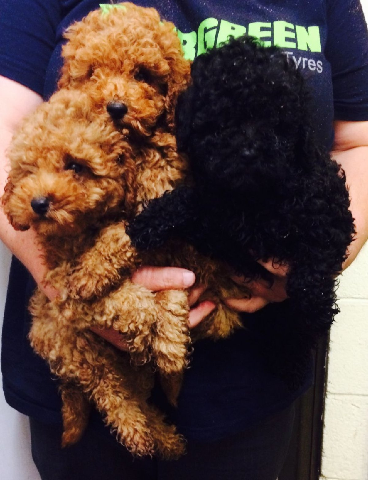Red Toy Poodles for sale in Kingston Kingston St Andrew - Dogs