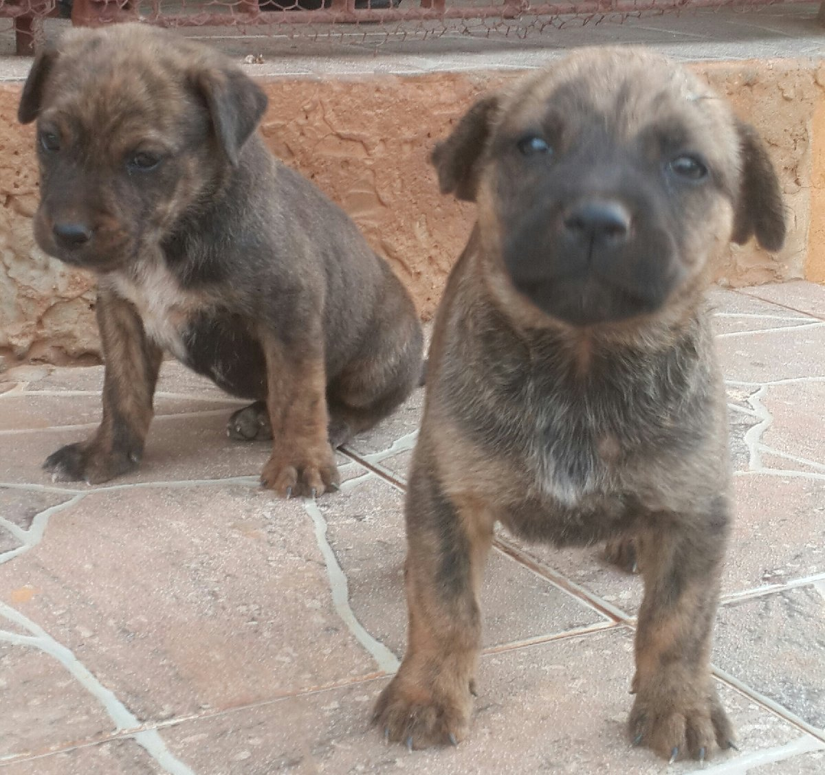 Mixed Pitbull Rottweiler Puppies6 Weeks Olds For Sale In