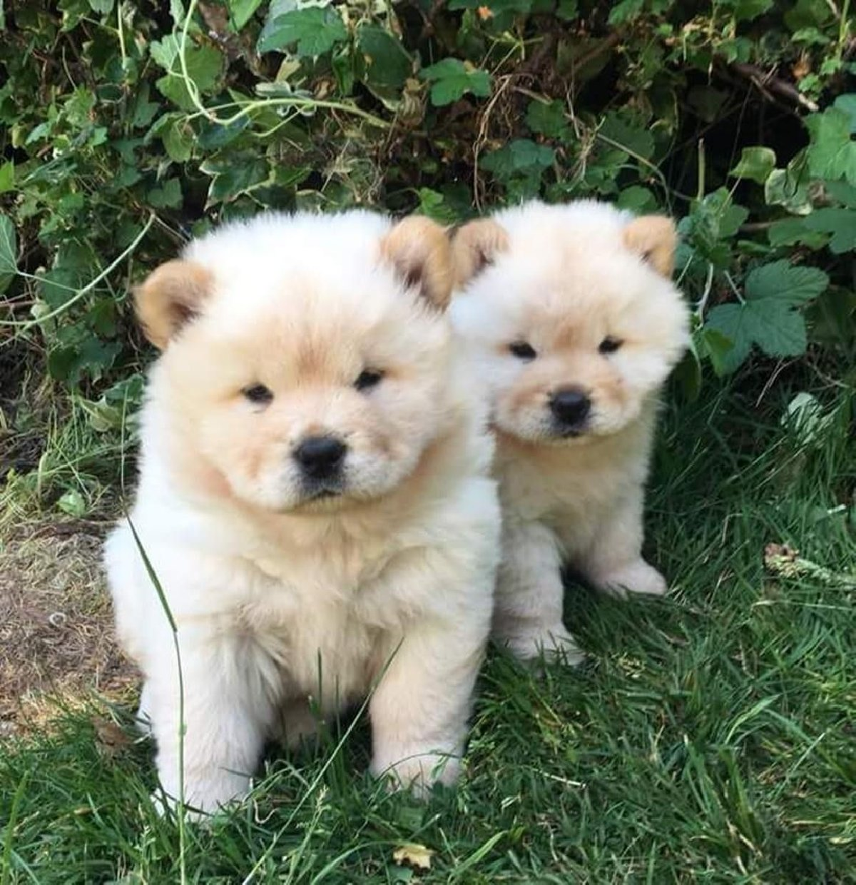Bo: Chow Chow puppy for sale near In New Zealand