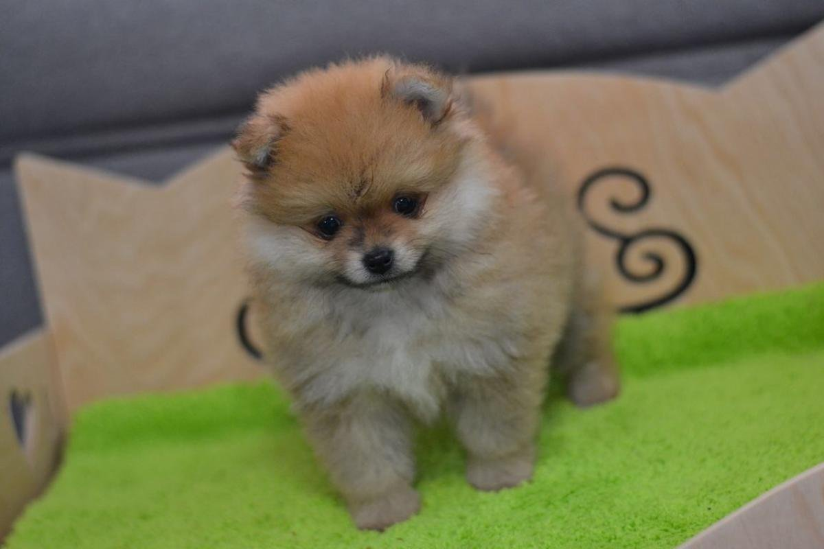 Standard And Toy Pomeranian Puppies For Sale In Portland Portland Dogs