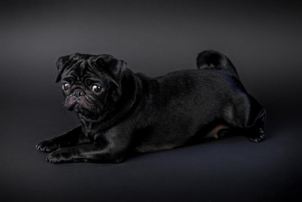 Pug Puppies For Sale in Florida Kingston St Andrew - Dogs