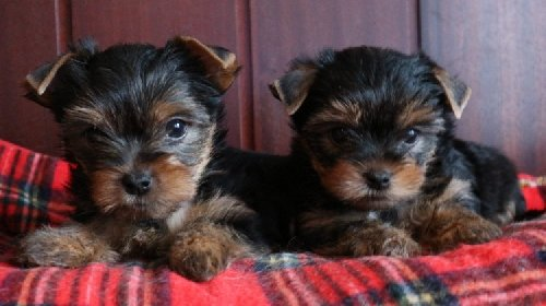!!!Male And Female Yorkie Puppies!!!