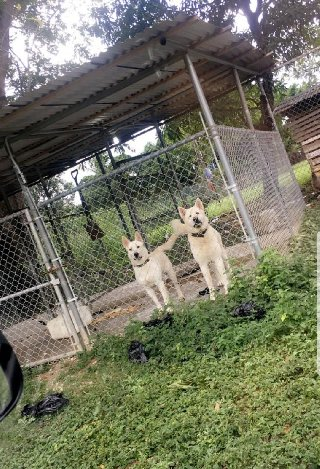 Jamaica Husky Kennel Large Dogs For Sale