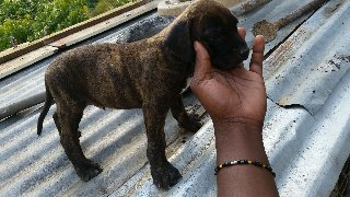 Pit Bull Mix With Mastiff Male Pup 1 Leave