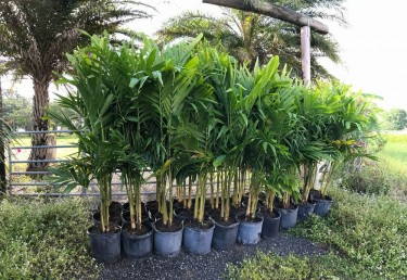 PALM TRESS AND HIBISCUS FOR SALE