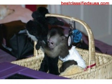 Outstanding Capuchin Monkeys For Sale Text Us
