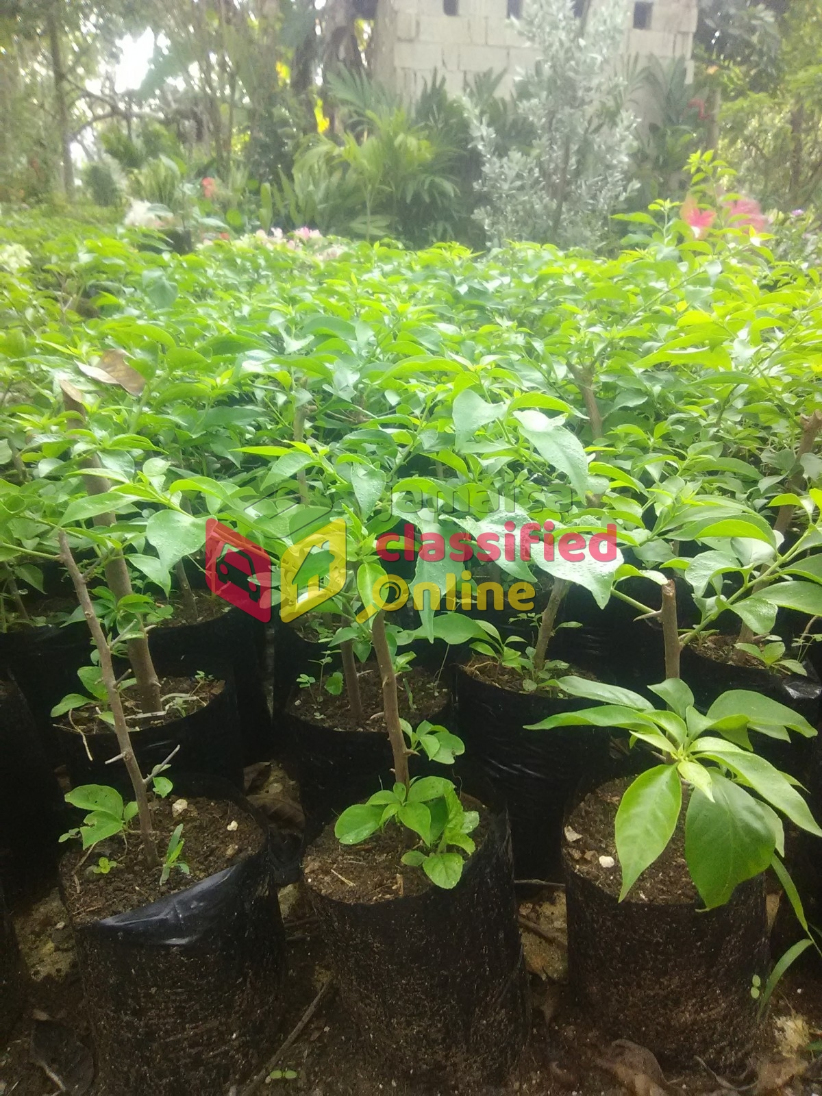 Live Flowers Plants for sale in Sav La Mar Westmoreland - Offices