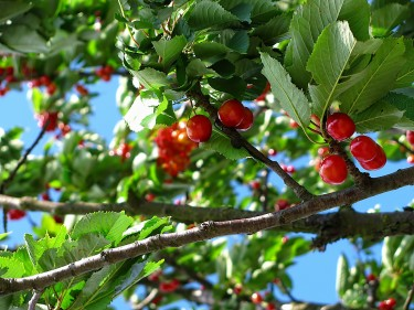 Fruit Trees For Sale