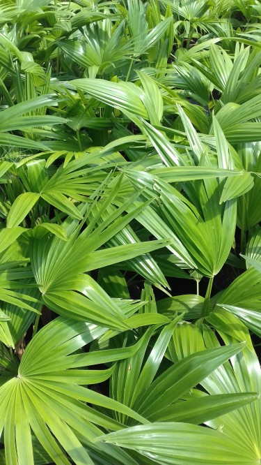 Chinese Fan Palms For Sale