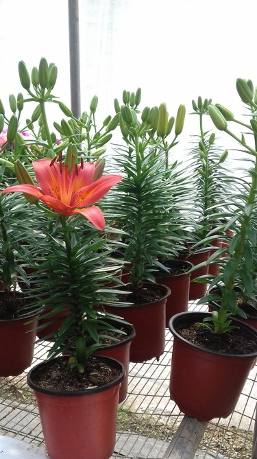 Beautiful Asiatic Lilies For Sale