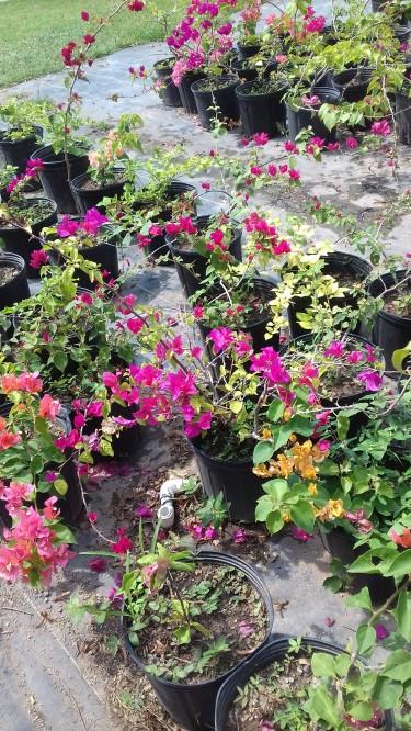 Beautiful Bougainvillea Plantso For Sale
