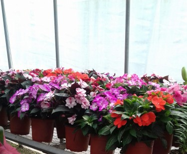 Beautiful New Guinea Impatience Plants For Sale