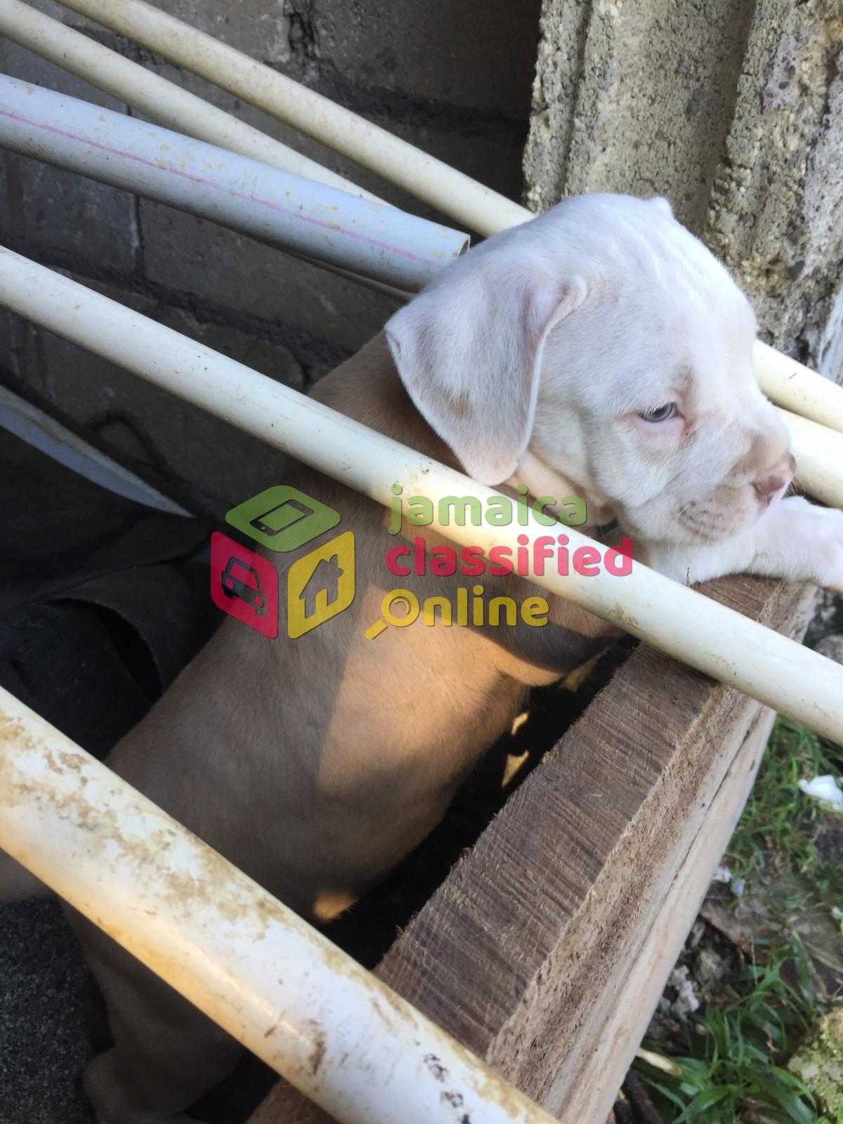 Bulldog X French Bullmastiff X Pitbull Puppies for sale in