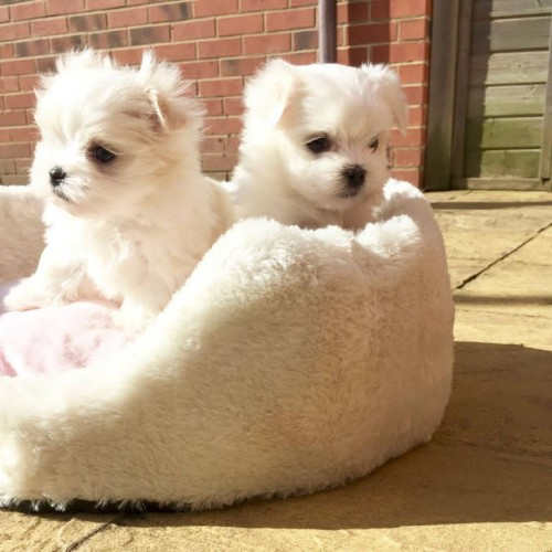 Maltese Puppies Available For Sale.