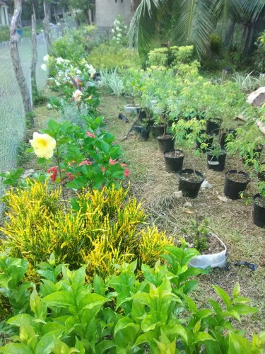 Bougainvilleas,hibiscus,Texas Sage & Lots More