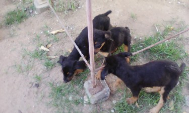 Rottweiler Puppies Mixed 12 Weeks Old For Sale At