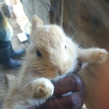 4 Weeks Old Rabbits Starting At $3000 Each.