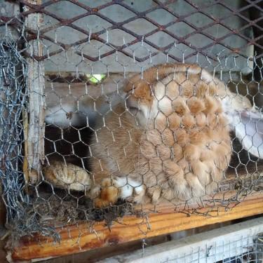 Rabbits 24 Weeks + Mature Rabbits For Breeding