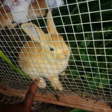 Rabbits 12 Weeks Old