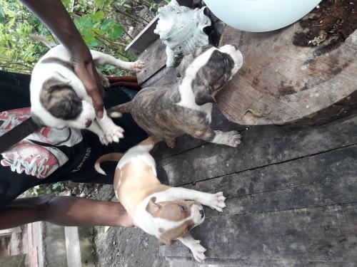 Bulldog puppies