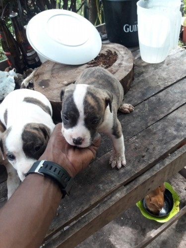 Pitbull/bullypit Puppies