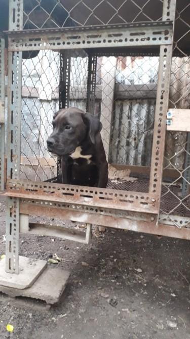 Frenchmastiff Mix 4 Month Old Puppy 40k Neg