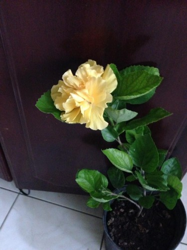 Beautiful Yellow Hibiscus For Sale