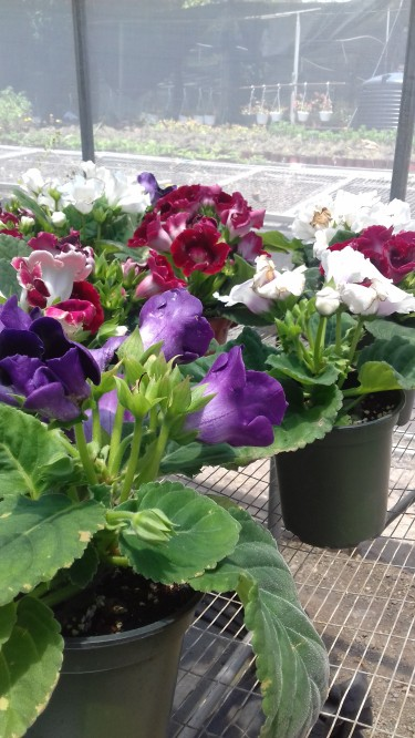 Beautiful Gloxinia  Plant For Sale