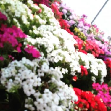 Beautiful Kolenchoe Plant For Sale