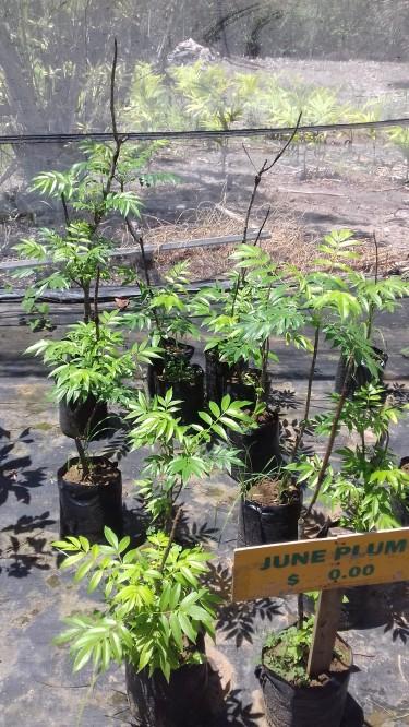 June Plum Trees For Sale