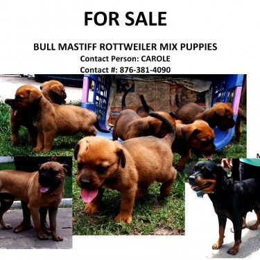 Bull Mastifff Rotti Puppies