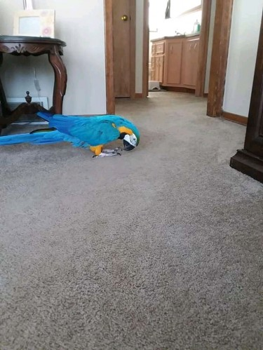 Male And Female Blue And Gold Macaw
