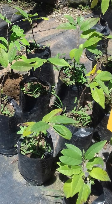 Ackee Trees For Sale