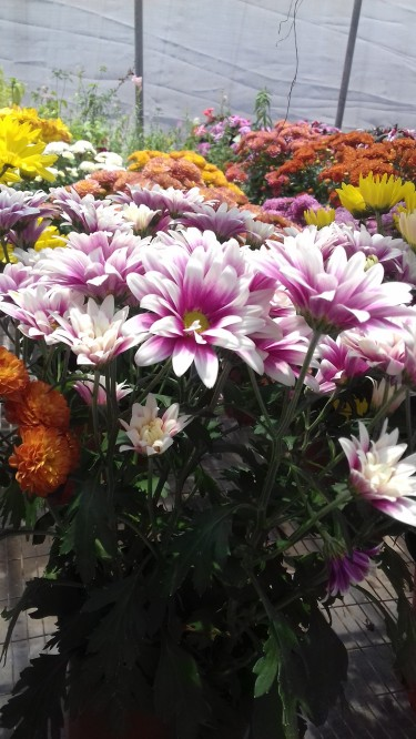 Beautiful Geranium For Sale