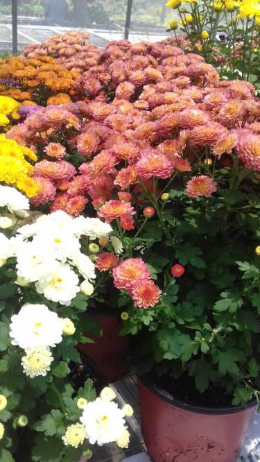 Beautiful Chrysanthemum For Sale