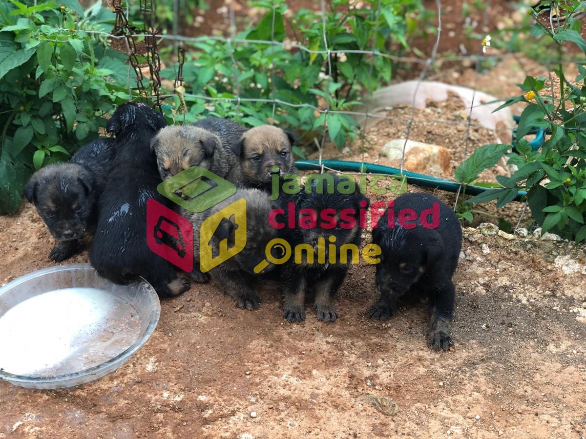 German Shepherd Rottweiler Mix Puppies for sale in