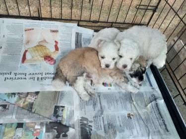 Shihtzu Poodle And Shihtzu Pom 7 Weeks Old