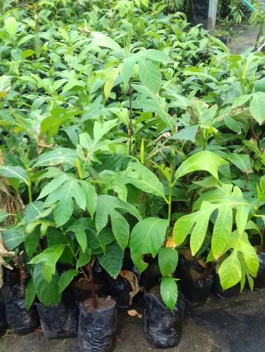 Breadfruit Trees For Sale