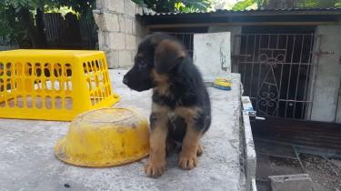 Male German Shepard Pup Registered