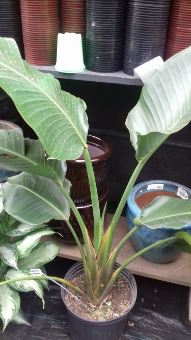 Bird Of Paradise Palm For Sale