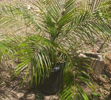 New Phoenix Robeliinii Palms For Sale