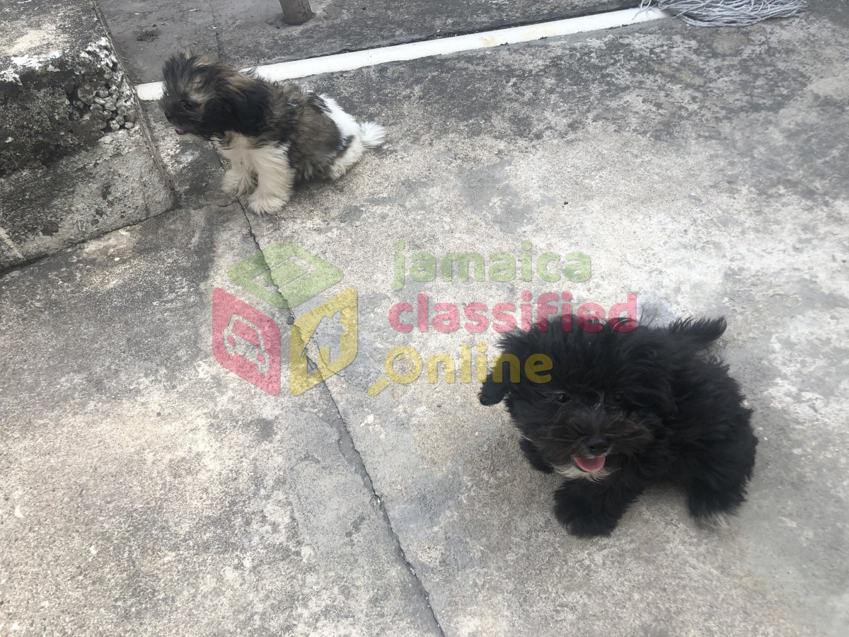Shih Tzu Poodle Mix Puppies For Sale in Kingston Kingston St