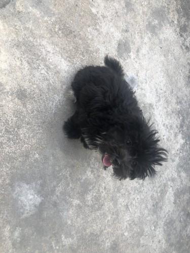 Shih Tzu Poodle Mix Puppies For Sale