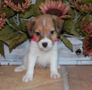 Two Jack Russell Pups For Adoption