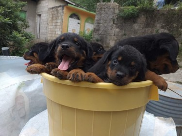 PUREBRED ROTTWEILER PUPPIES