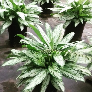 Beautiful Very Queen Plants For Sale